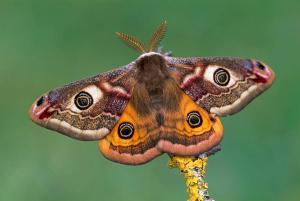 pavonia-emperor-moth--thomas-marent